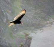 Avvoltoio della Turchia, Immagini Stock Libere da Diritti