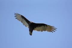 Avvoltoio della Turchia (alone del Cathartes) fotografia stock libera da diritti