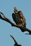 Avvoltoio di appoggio bianco fotografia stock libera da diritti