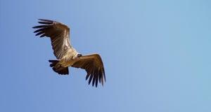 Avvoltoio di appoggio bianco immagini stock libere da diritti