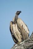 Avvoltoio di appoggio bianco Fotografie Stock Libere da Diritti