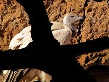 Avvoltoio di appoggio bianco africano in albero Fotografie Stock Libere da Diritti