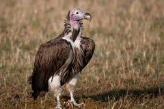 Avvoltoio di appoggio bianco Kenia Africa Fotografia Stock Libera da Diritti