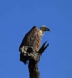 Avvoltoio di appoggio bianco in Sudafrica Immagine Stock