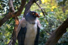 Avvoltoio di California Fotografie Stock