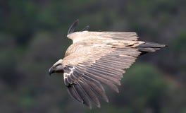 Avvoltoio di Griffen del capo immagine stock