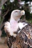 Avvoltoio di Griffon Immagine Stock