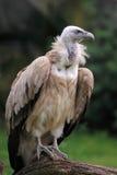 Avvoltoio di Griffon Fotografia Stock
