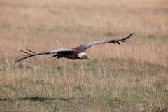 Avvoltoio di Griffon Fotografia Stock Libera da Diritti