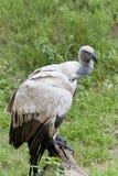 Avvoltoio di Griffon del capo (coprotheres dei Gyps) Fotografia Stock Libera da Diritti