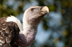 Avvoltoio di Griffon del Ruppell Fotografie Stock Libere da Diritti