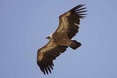 Avvoltoio di Griffon durante il volo Immagine Stock Libera da Diritti
