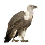 Avvoltoio di Griffon - fulvus dei Gyps Fotografie Stock