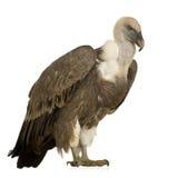 Avvoltoio di Griffon - fulvus dei Gyps fotografia stock libera da diritti