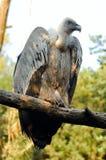 Avvoltoio di Griffon (fulvus dei Gyps) Immagini Stock Libere da Diritti