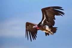 Avvoltoio di Lappetfaced Immagini Stock Libere da Diritti