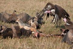 Avvoltoio di Nubian che insegue jackle dall'uccisione Fotografia Stock Libera da Diritti