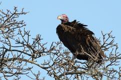 Avvoltoio di Nubian (Torgos Tracheliotos) Fotografia Stock
