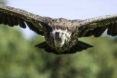 Avvoltoio di Rüppells Griffon frontalmente durante il volo Fotografie Stock Libere da Diritti
