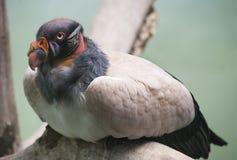 Avvoltoio di re 2 fotografie stock libere da diritti