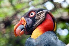 Avvoltoio di re Fotografia Stock Libera da Diritti