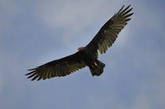 Avvoltoio di tacchino di volo Fotografia Stock