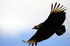 Avvoltoio di Turchia Fotografie Stock Libere da Diritti