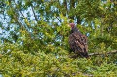 Avvoltoio di Turchia Fotografia Stock