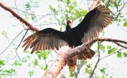 Avvoltoio di Turchia immagine stock libera da diritti