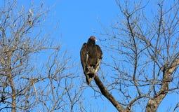 Avvoltoio di Turchia Immagini Stock Libere da Diritti