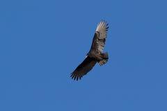 Avvoltoio di Turchia Immagine Stock