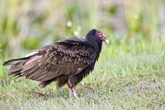 Avvoltoio di Turchia (alone del Cathartes) Immagine Stock
