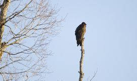 Avvoltoio di Turchia che Roosting nell'albero nell'alba di inverno, Georgia, U.S.A. fotografia stock libera da diritti