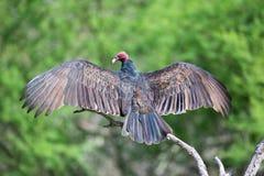 Avvoltoio di Turchia che si smazza Immagine Stock