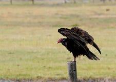 Avvoltoio di Turchia sulla posta Immagini Stock