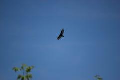 Avvoltoio di Turchia, volo di aura del Cathartes in cielo blu Fotografie Stock Libere da Diritti