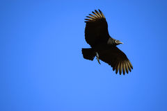 Avvoltoio di volo Immagini Stock