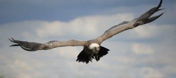 Avvoltoio durante il volo Fotografia Stock