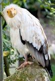 Avvoltoio egiziano 1 Fotografia Stock Libera da Diritti
