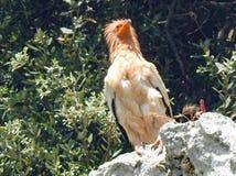 Avvoltoio egiziano fotografie stock