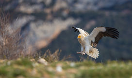 Avvoltoio egiziano Immagine Stock