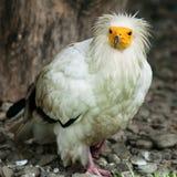Avvoltoio egiziano (lat. Percnopterus del Neophron) Immagini Stock Libere da Diritti