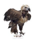 Avvoltoio euroasiatico (42 anni) - monachus del Aegypius Fotografia Stock