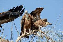 Avvoltoio euroasiatico BIKANER Fotografie Stock Libere da Diritti