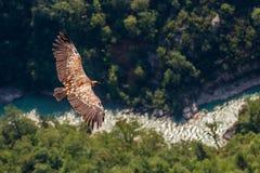 Avvoltoio europeo fotografie stock libere da diritti