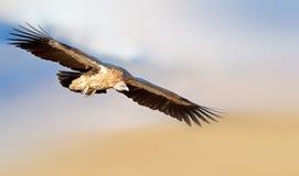 Avvoltoio himalayano Immagine Stock