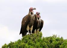 Avvoltoio incappucciato Immagini Stock