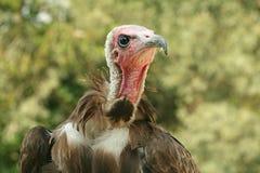 Avvoltoio incappucciato Immagine Stock