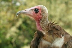 Avvoltoio incappucciato Immagini Stock Libere da Diritti