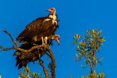 Avvoltoio incappucciato Fotografia Stock